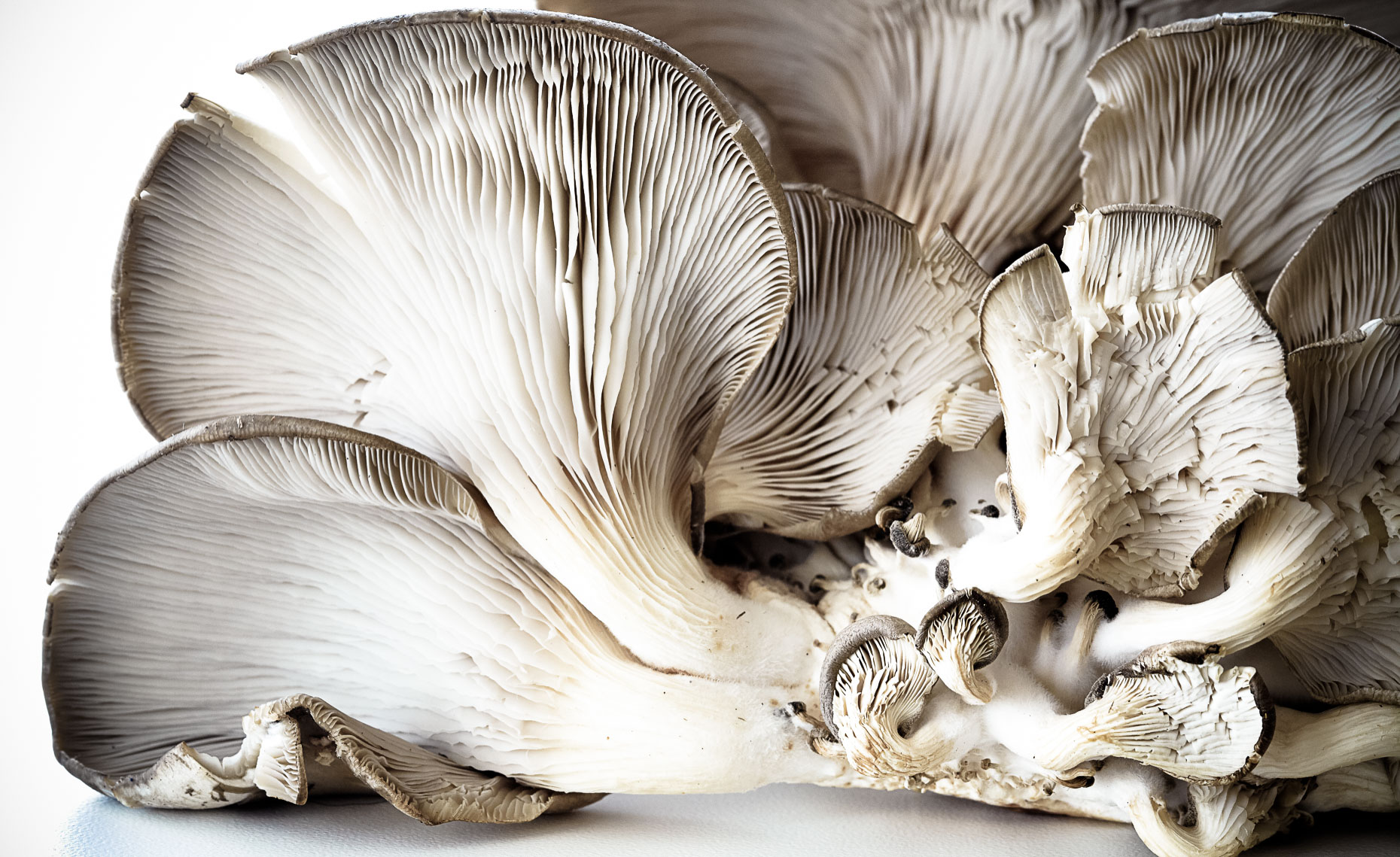 OysterMushrooms_CHPweb