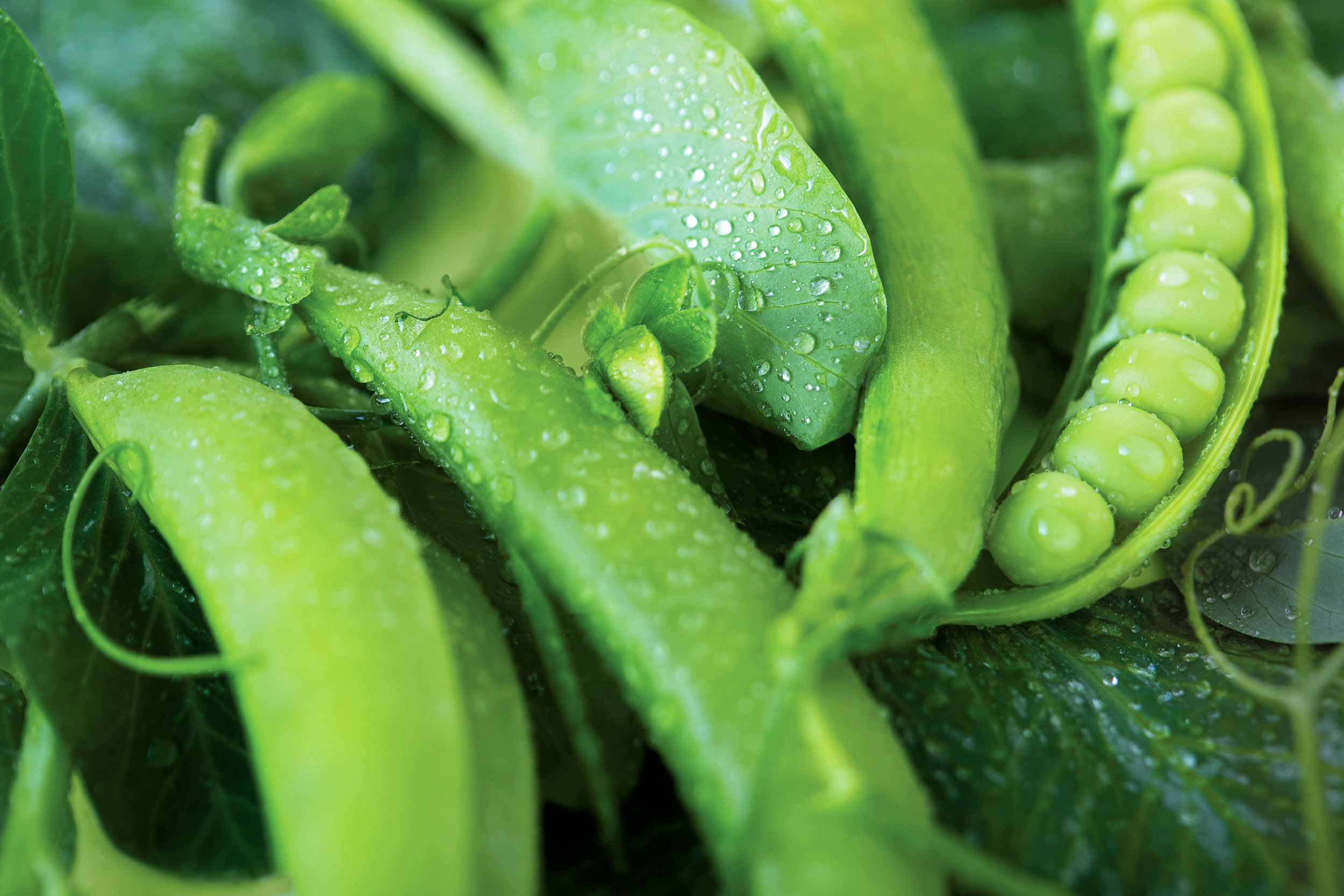 close up of freshly picked pea pods